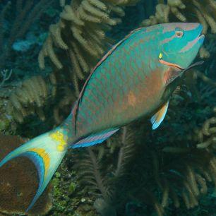 Parrotfish via Richard Seaman