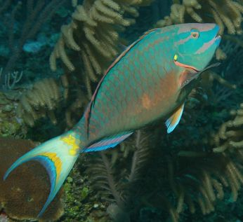 Parrotfish via Richard Seaman